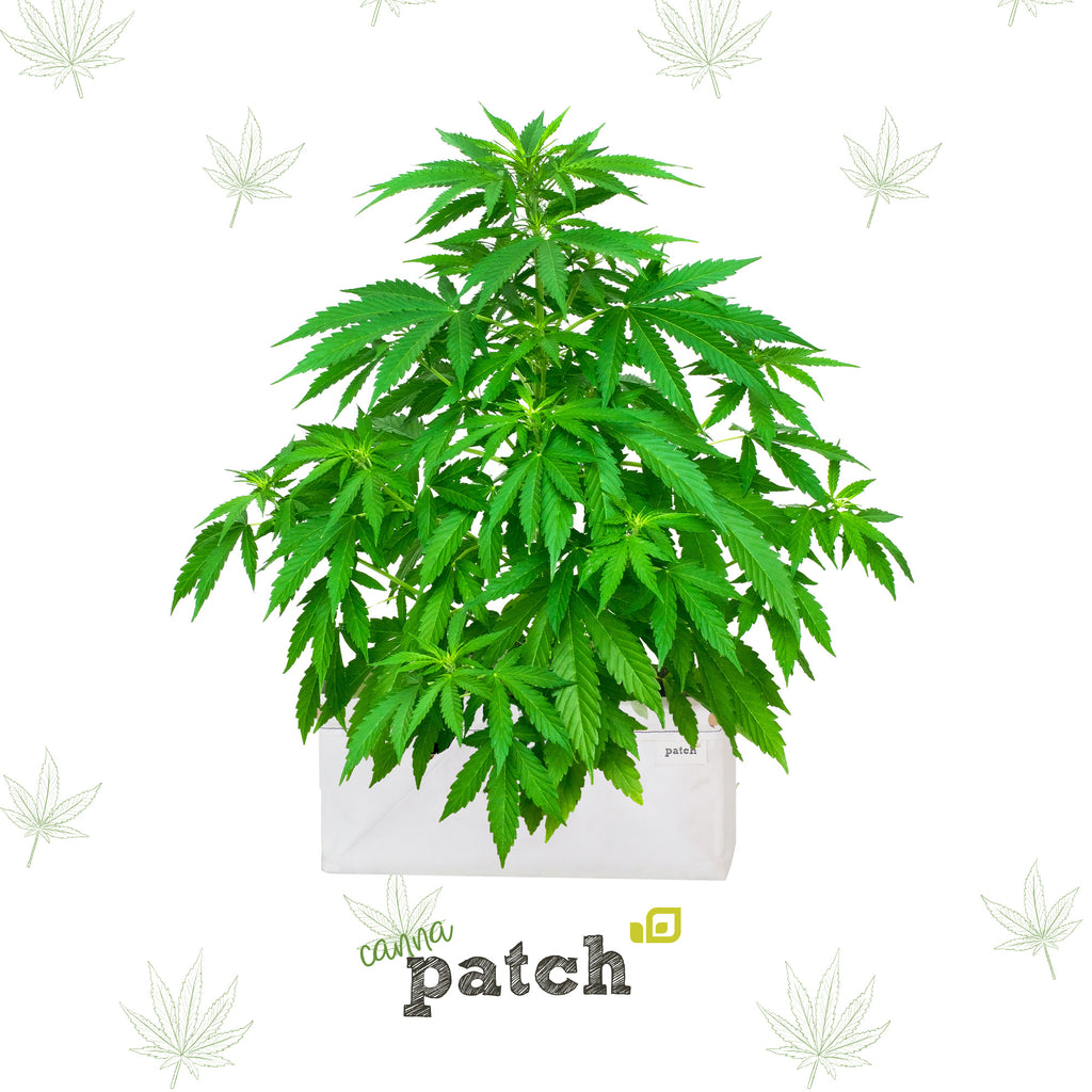 CannaPatch
