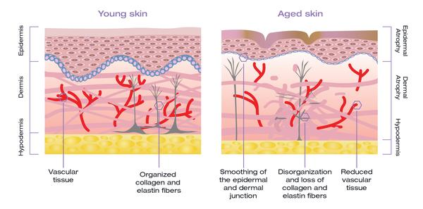 Detailed look at the layers under skin | ALASTIN Skincare