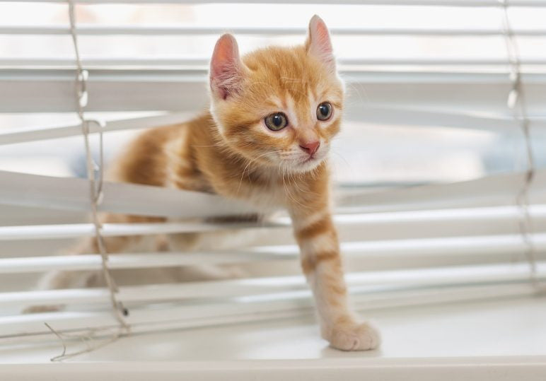 cat in blinds