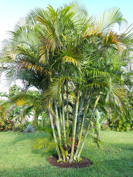 wxyz     Dypsis Lutescens palm seed (50 seeds) Next batch Aug 2021