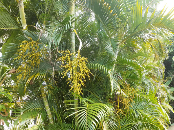 wxyz100     Dypsis Lutescens palm seed (100 seeds) next batch Aug 2021