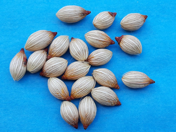 Z.b      20 Anonidia merrillii seeds, Christmas Palm, Manilla Palm, Butterfly Palm Feb. 2021