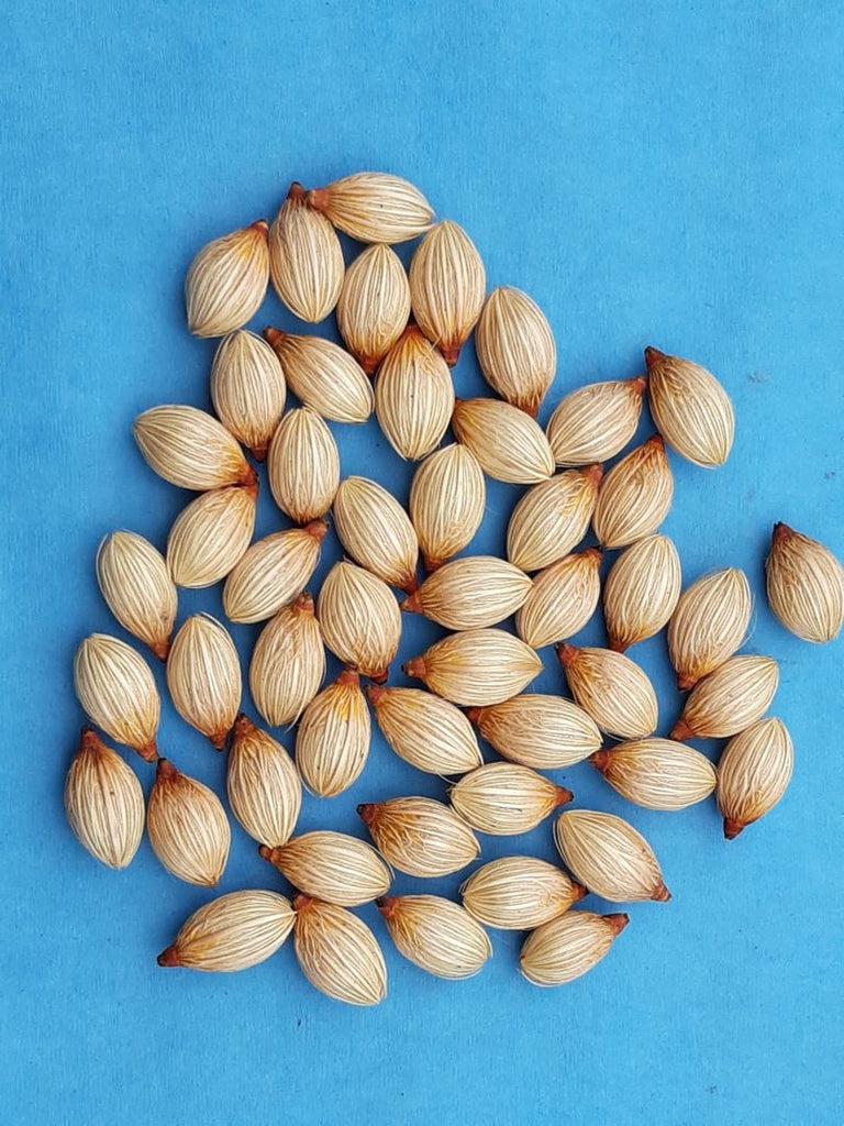 Z.c     50  Adonidia merrillii seeds   Christmas palm, manilla palm, butterfly palm