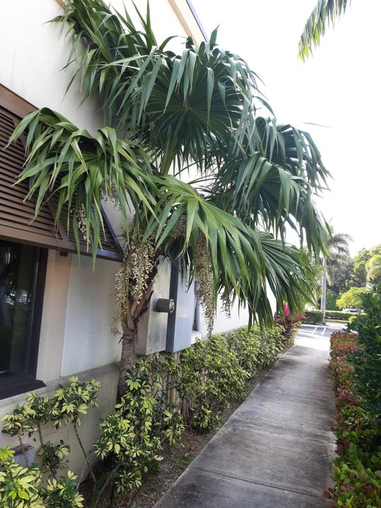 Z.k....... 100 Thrinax radiata seeds , Florida Thatch Palm, fully cleaned