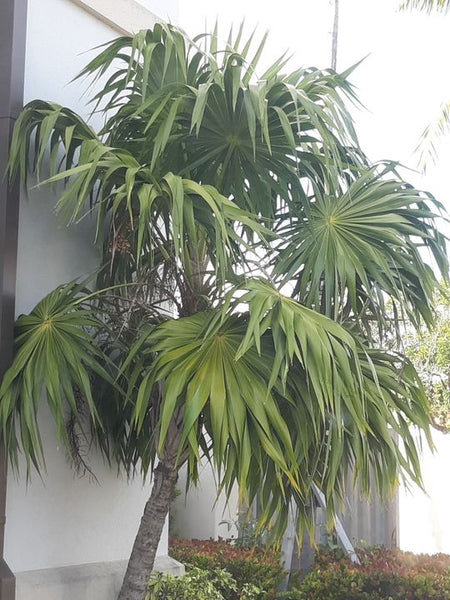 Z.i....... 20 Thrinax radiata seeds , Florida Thatch Palm, fully cleaned