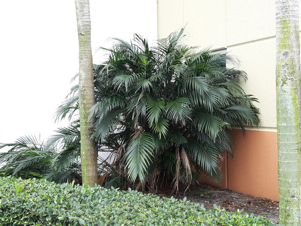 Z.w........ 50 Chamaedorea cataractarum seeds, Cascade Cat palm, Cat palm