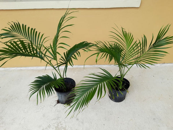 Z.x........ 100 Chamaedorea cataractarum seeds, Cascade Cat palm, Cat palm