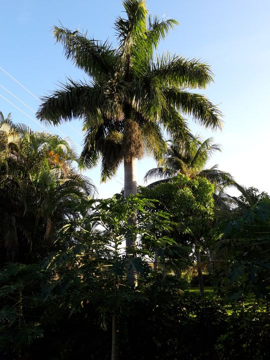 Z.q....... 100 Roystonea regia seeds, Florida Royal palm also called CubanRoyal palm , cleaned