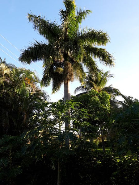 Z.q....... 100 Roystonea regia seeds, Fresh Sept. 2020 Florida Royal palm also called Cuban Royal palm , cleaned