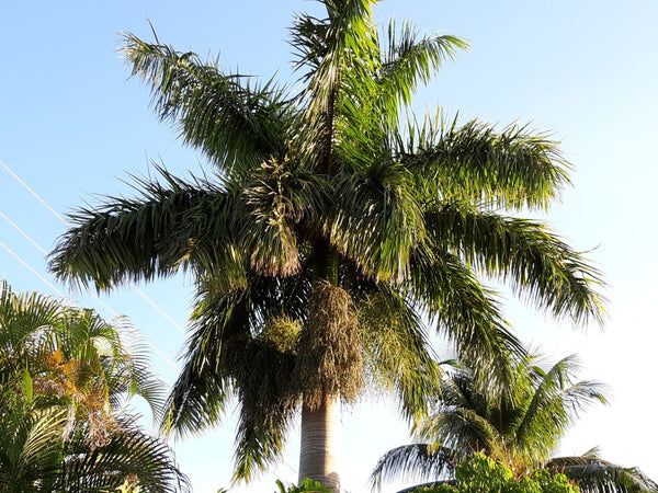 Z.o....... 20 Roystonea regia seeds, Florida Royal palm also called CubanRoyal palm , cleaned