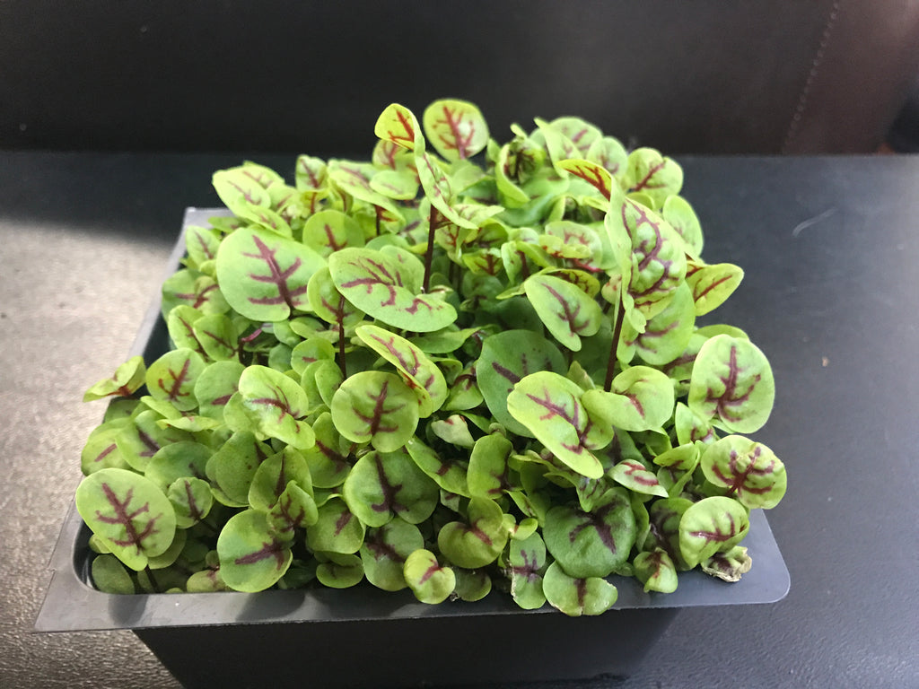 Red Vein Sorrel Microgreens