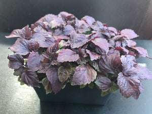 Red Shiso Microgreens