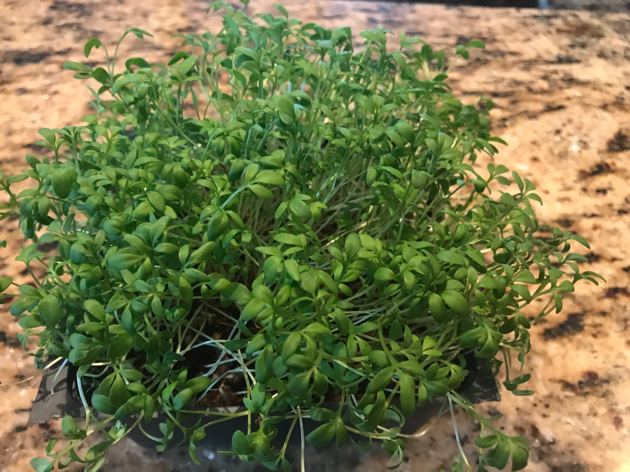 Watercress Microgreens