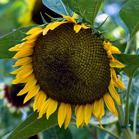 Sunflower Jerusalem Gold - Grimes Farm Market Seeds