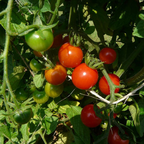 Tomato Cherry Sweetie #1 Red - Grimes Farm Market Seeds