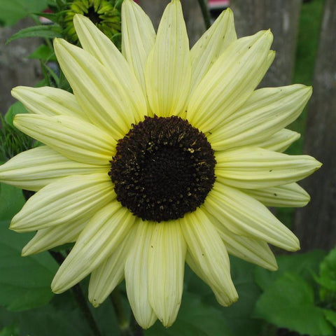 Sunflower Italian Whites - Grimes Farm Market Seeds