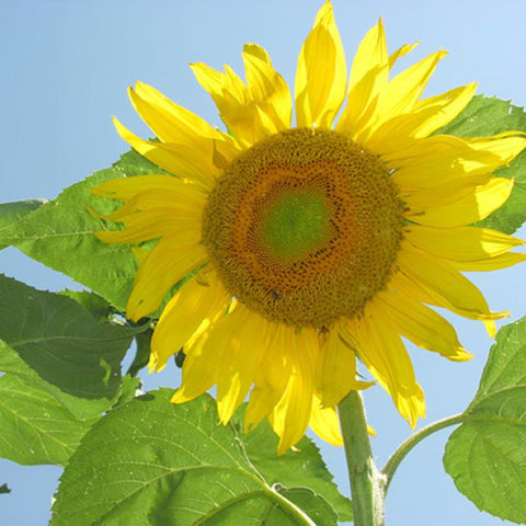 Sunflower Grey Stripe - Grimes Farm Market Seeds