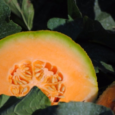 Cantalopue Sweet Delight - Grimes Farm Market Seeds