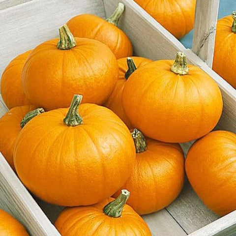 Pumpkin New England Pie - Grimes Farm Market Seeds