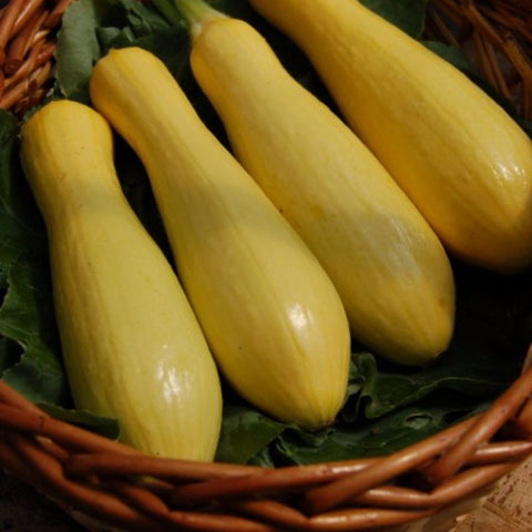 Squash Summer Success Straightneck - Grimes Farm Market Seeds