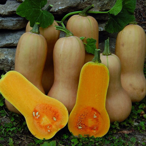Squash Winter Waltham Butternut - Grimes Farm Market Seeds