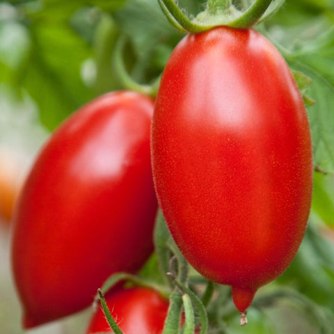 Tomato Sauce Amish Paste - Grimes Farm Market Seeds