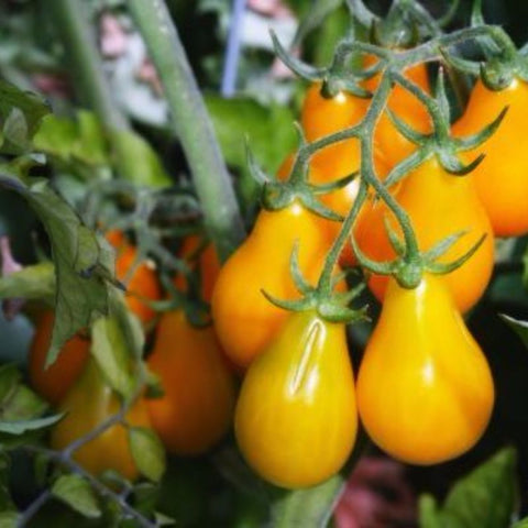 Tomato Grape Yellow Pear - Grimes Farm Market Seeds