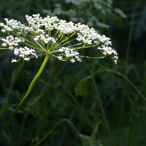 Anise Herb - Grimes Farm Market Seeds