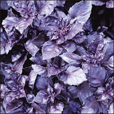 Basil Dark Purple Opal - Grimes Farm Market Seeds