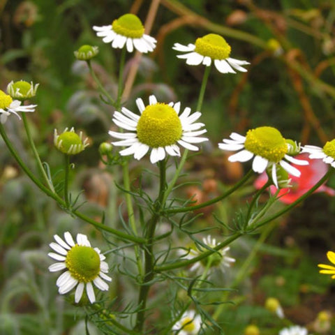 Chamomile Annual German