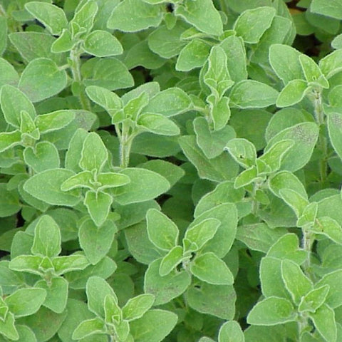 Oregano Greek - Grimes Farm Market Seeds