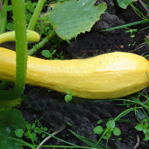 Squash Summer Tasty Straightneck Yellow - Grimes Farm Market Seeds