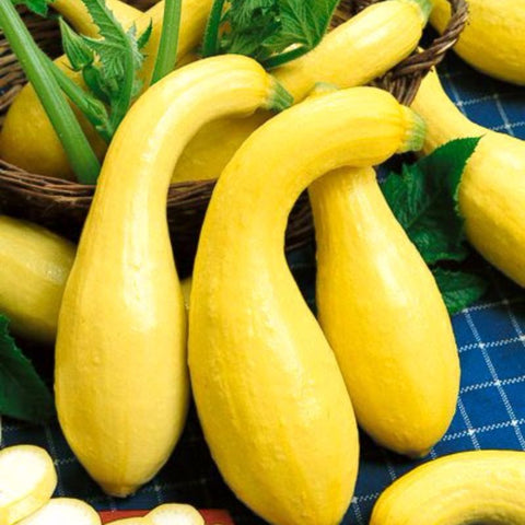 Squash Summer Resister Crookneck 1.7 Yellow - Grimes Farm Market Seeds