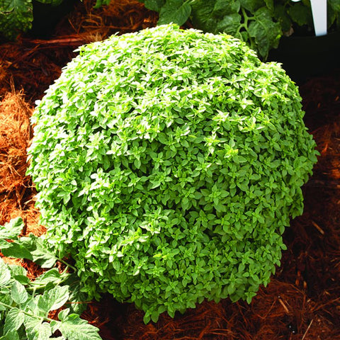 Basil Zorba The Greek - Grimes Farm Market Seeds