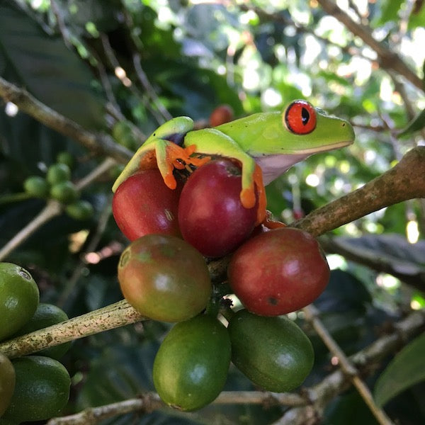 Red-eyed tree frog on coffee cherries