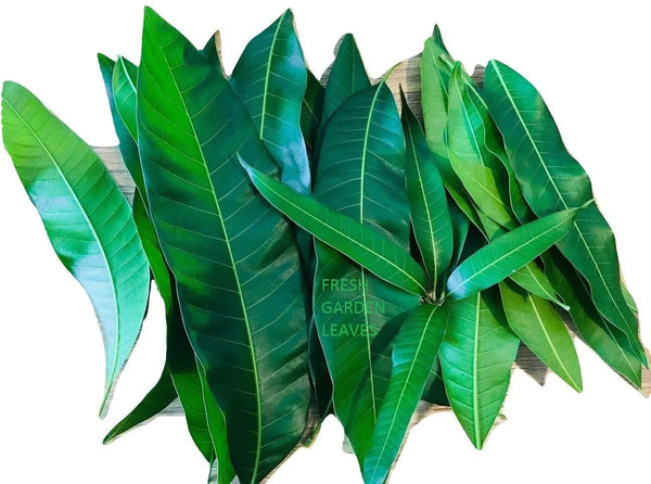 Fresh Mango Leaves Organic All Natural, No Pesticide, No Chemicals from South Florida (25 leaves)