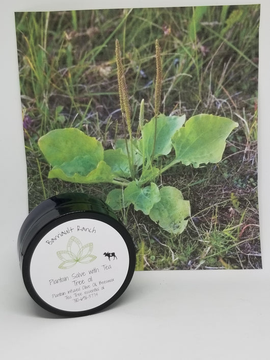 Plantain Salve w/tea tree oil - 2 ozSalves- Barriault Ranch