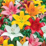 Mix Asiatic lilly