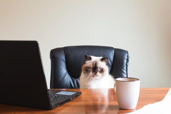 business cat sitting in office chair drinking coffee in front of laptop