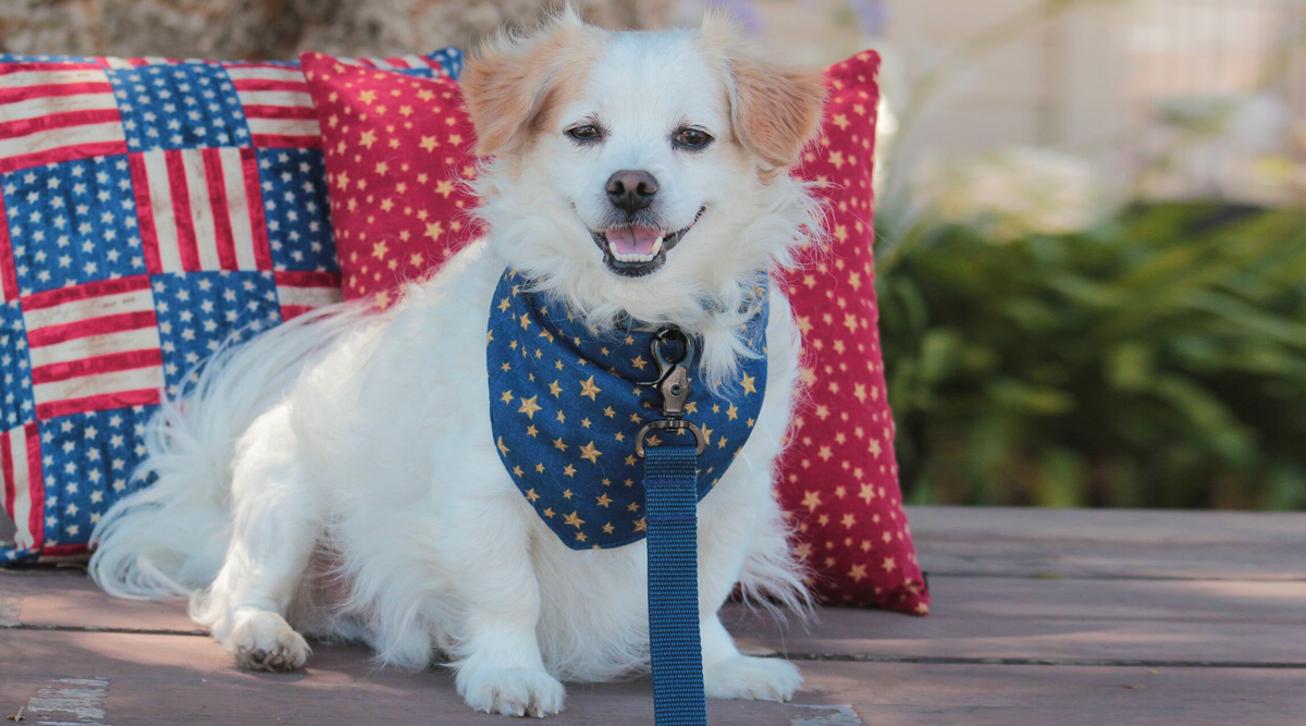 Gold Stars Dog Bandana