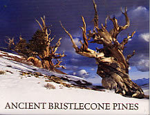 Bristlecone Ancient Pines Magnet
