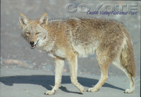 Death Valley Coyote Postcard