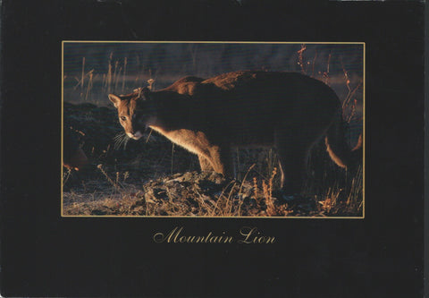 Mountain Lion Postcard