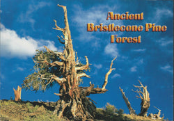 Ancient Bristlecone Pine Postcard-QTY=50