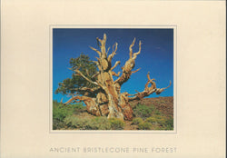Bristlecone Tree Postcard-QTY=50