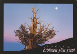 Bristlecone Night Postcard-QTY=50