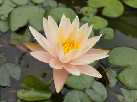 Nymphaea 'Allison Joy' - Peach Perennial Waterlily