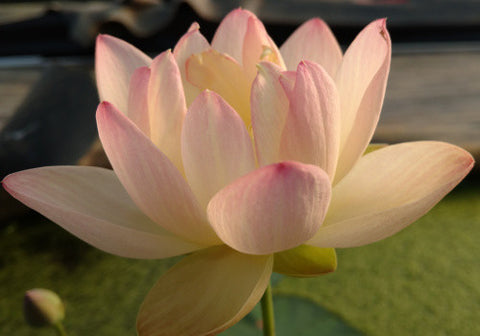 Green Maiden - Perennial Water Lotus