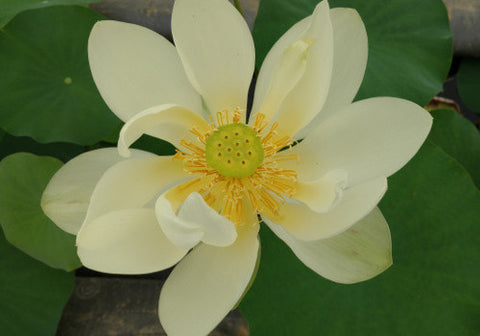 High Noon - Perennial Water Lotus