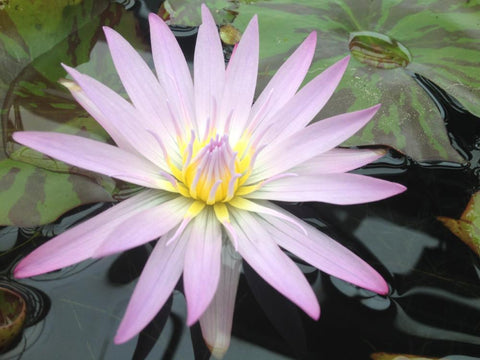 Nymphaea 'Madame Ganna Walska' - Lavender Day Blooming Annual Waterlily